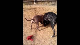 Bandog puppy vs REAL Pitbull