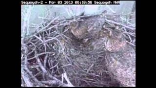 GHOs are back! @ Sequoyah nest, Vian, Oklahoma. 3rd March 2013 (6.17 AM)