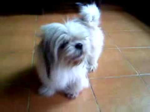 My cute dog barks! Soprano mode!