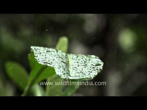Drops of Monsoon on leaves- Slow motion capture