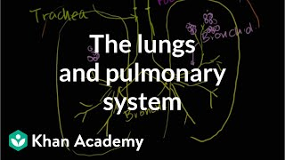 The Lungs and Pulmonary System