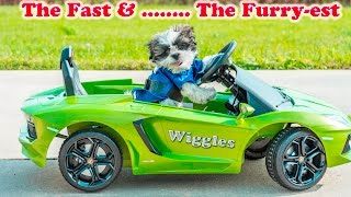WIGGLES on  Power Wheels becomes  The Fast and the Furriest
