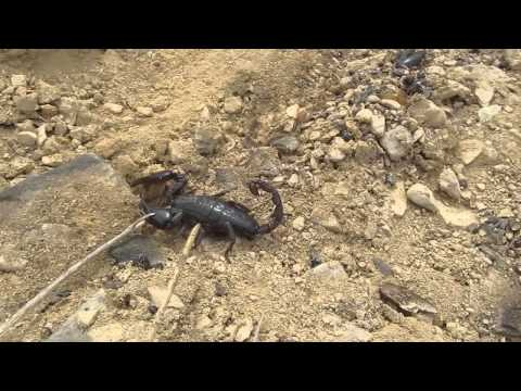 creepy giant scorpion! Terlingua, TX