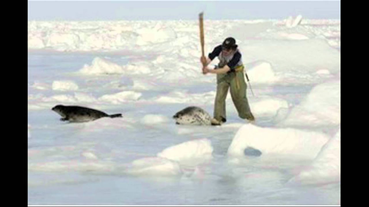The effects of clubbing baby harp seals in Canada - YouTube