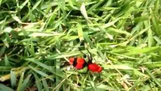 Cow Killer Wasp Red Velvet Ant (chirp squeak)