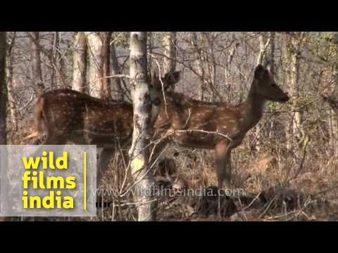 Wild boars, Asiatic elephants and Spotted deer in Bandipur National Park
