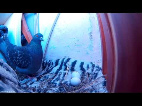 Голубь высиживает яйца