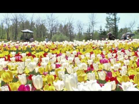 สวนสาธารณะทาคิโนะซูซูรันที่มีดอกทิวลิปมากกว่า200ชนิดบานสะพรั่ง