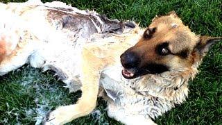 HOW TO WASH A GERMAN SHEPHERD DOG