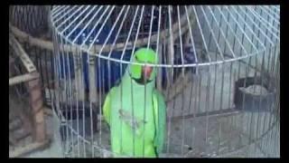 Indian Ringneck Parrot Talking PARAKEET Male