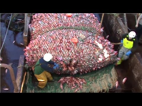 هذا هو الصيد الكبير.. لن تصدق كمية السمك التي تم اصطيادها!!