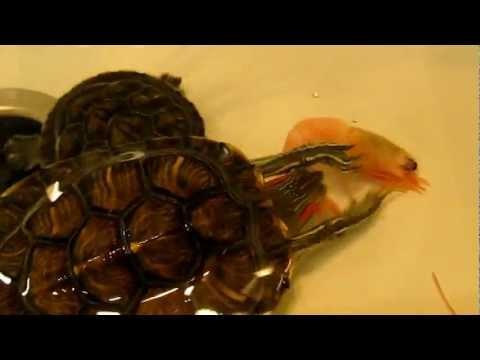 Черепахи красноухие в домашних условиях не ест