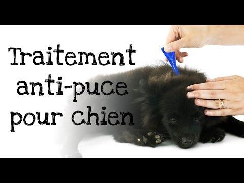 Comment appliquer un traitement anti-puces à votre  chien ?