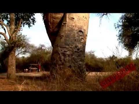 Baobab Tree, Adansonia Travel Video