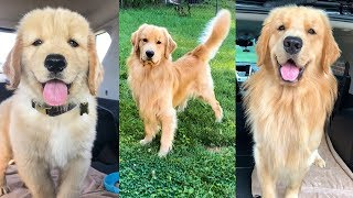 Daily Life With a Golden Retriever | Compilation 2