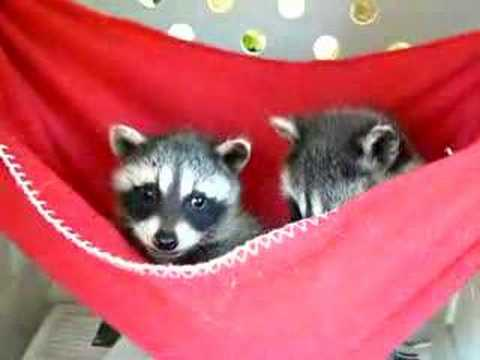 Baby Raccoons in Red Hammock