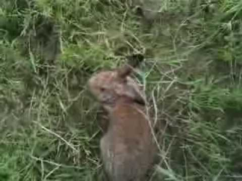 Chinchilla Giganta Rabbit Chinchilla Rabbit