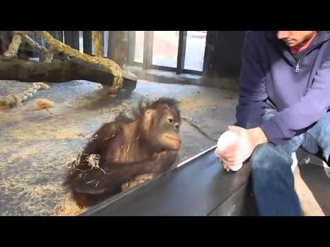 Обезьяна смеется с фокуса в зоопарке Прикол 10.12.15