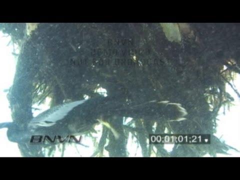 2/26/2007 Cormorant Hunting Underwater