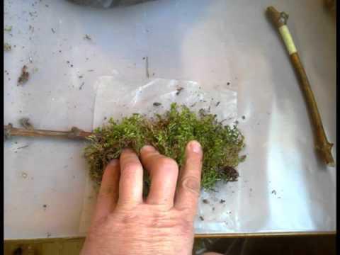 Выращивание винограда черенками в опилках 78