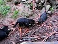 Tasmanian Devil Video