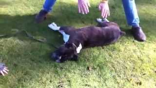 IMPRESIONANTE!!!! salvan la vida de un perro con primero auxilios (Dog Trainer Saves Dog with CPR)