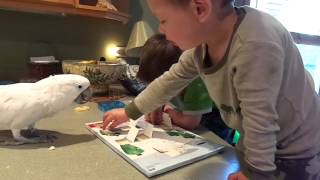 2014 4 25 Mr. Darcy Cockatoo opens advent calendar with toddlers