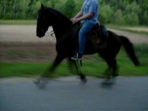 fast racking horse colt