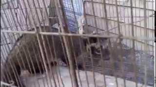 Isang napaka laking Alamid (musang or civet) nahuli sa Infanta Quezon