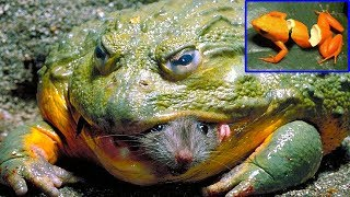 Wild Animals TV - The Coolest Skills Of Frog