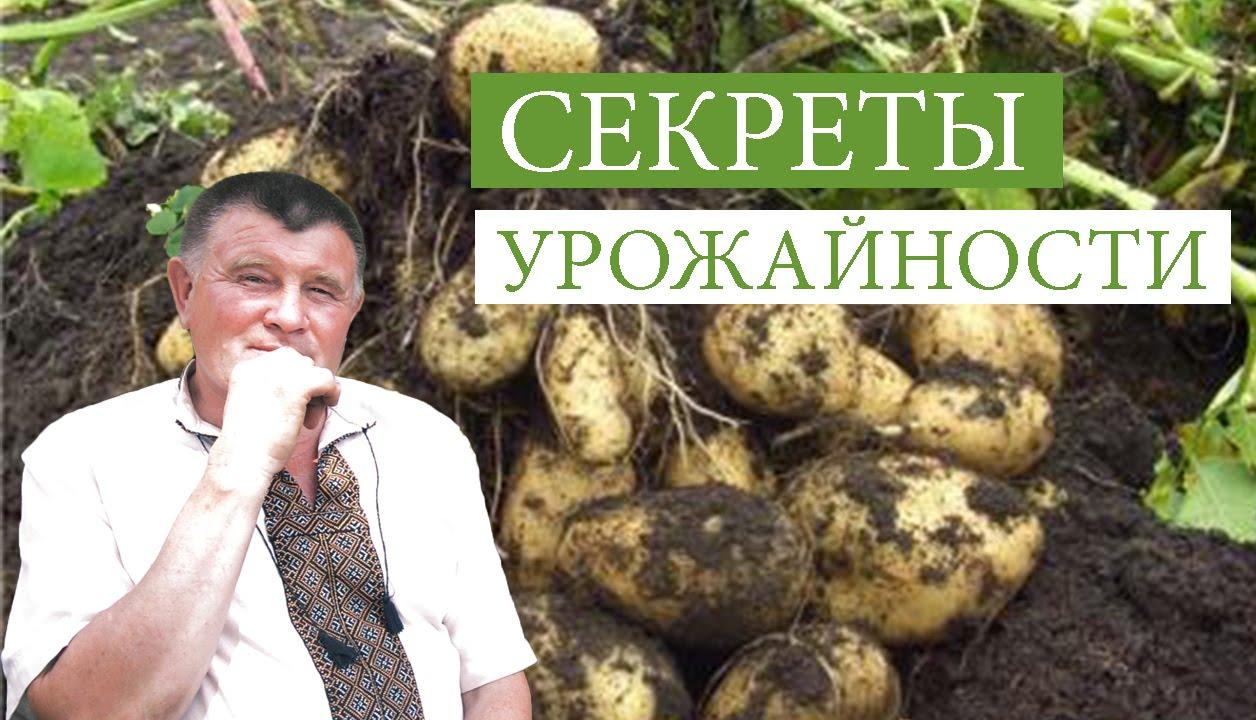 Органическое земледелие как сажать картофель 63