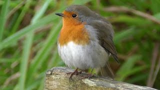 British Robin Red Breast UK Bird - The National Bird of Great Britain