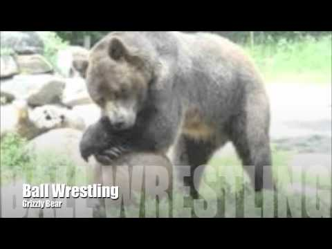 Grizzly Bear Vs Silverback Gorilla
