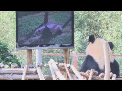 Sad panda: Depressed bear gets a TV
