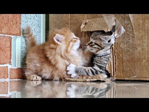2015 Серый против рыжего: хулиганистые котята