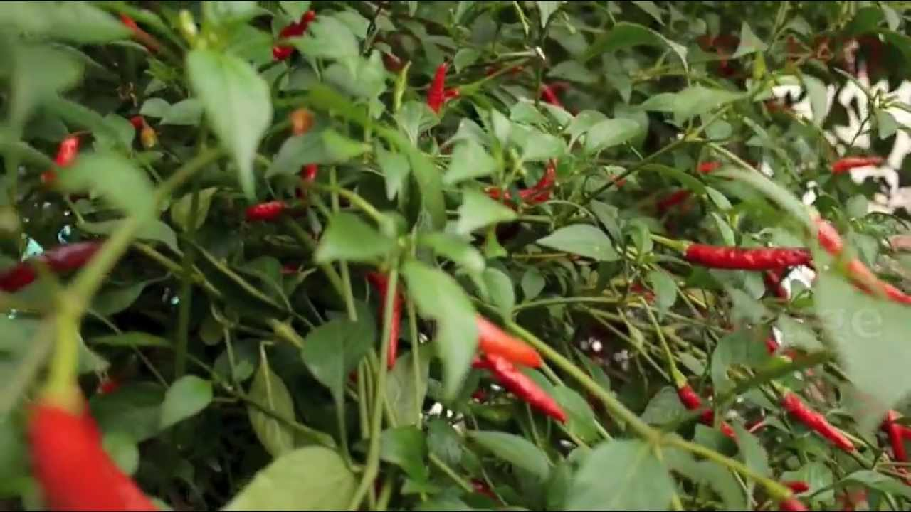 Thai Chili Pepper Plant Growing Hot Green Types & Red ...