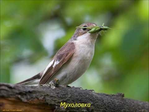 Птицы России  Часть 1 я