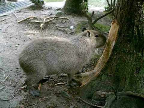 木の皮を食べるカピバラ
