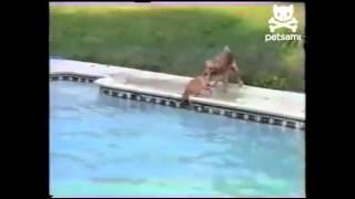 Cachorro salva filhote na piscina