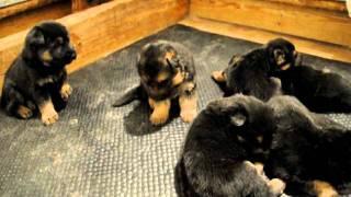 3 Week Old German Shepherd Puppies