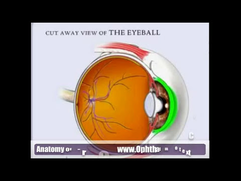 Anatomy of cornea