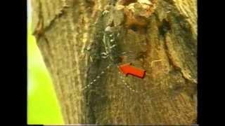 Asian Longhorned Beetle: First Line of Defense