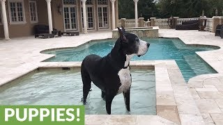 Great Dane cools off in pool after Hurricane Irma