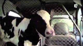 The price of milk, cheese (dairy) and veal - separation of a cow and her calf (English)