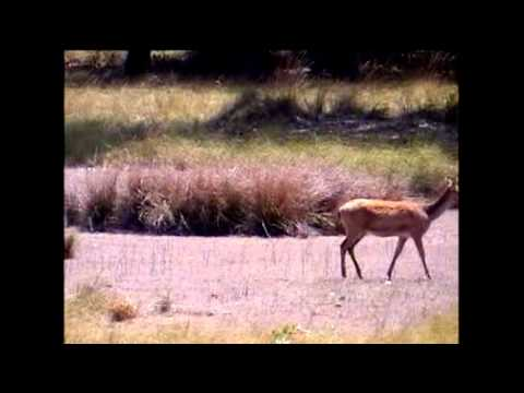 Short Film Aniamls of Kanha National Park by Shirishkumar Patil Amravati Maharastra