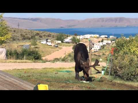Moose Drinking from Sprinkler at Bear Lake Utah