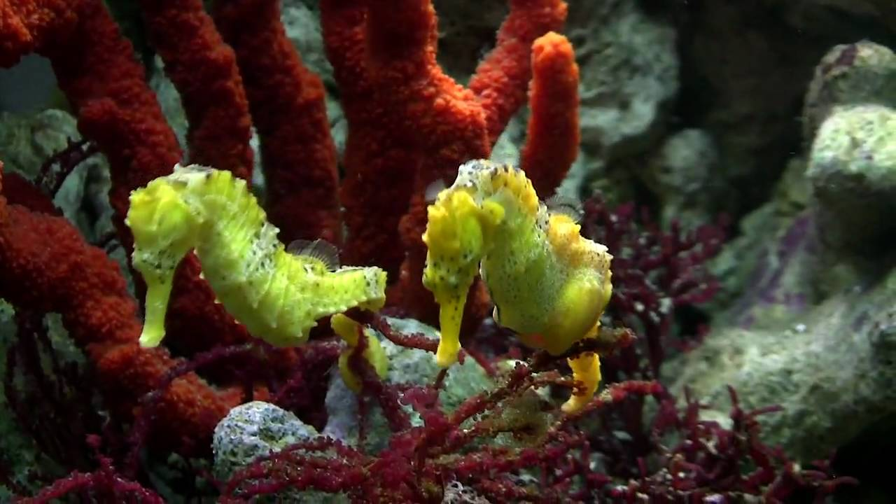 Seahorse Mating Dance - YouTube