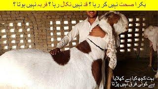 39   Goat Farming in Pakistan/India    بکرا صحت نہیں کر رہا قد نہیں نکال رہا فربہ نہیں ہوتا  