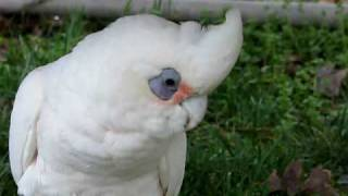 Frostie The Dancing Cockatoo: Frostie