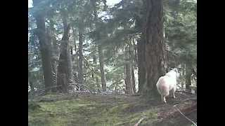 Mountain Goat Trail Cam - Winter 2014-2015 Compilation
